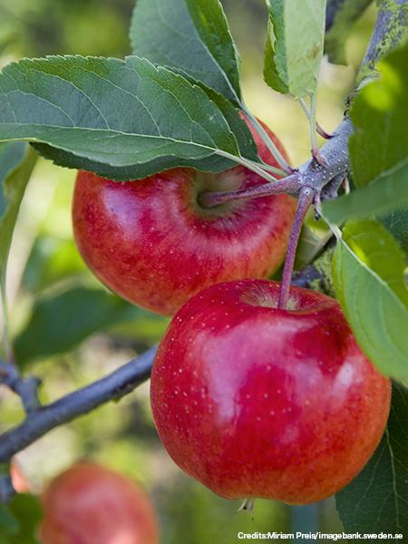 林檎(apple/エップレ)